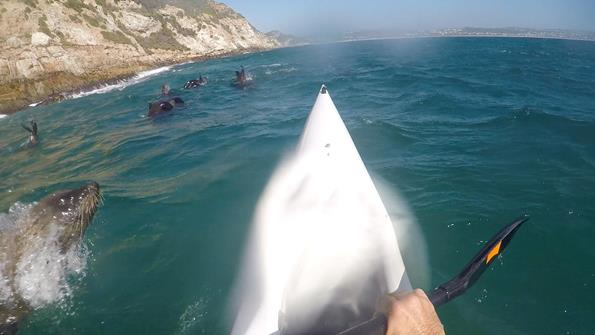 The seal launches itself at the surfski